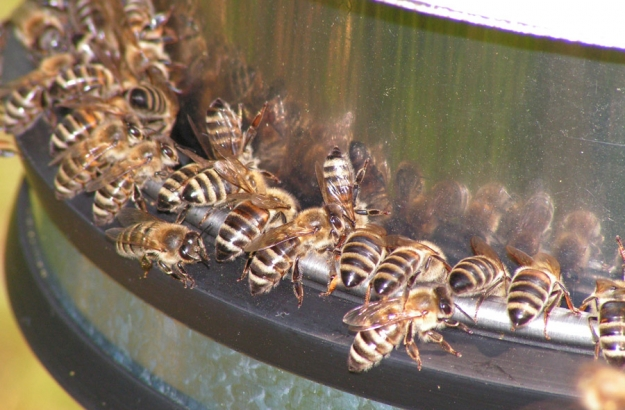 Training bees to recognise the smell of TNT