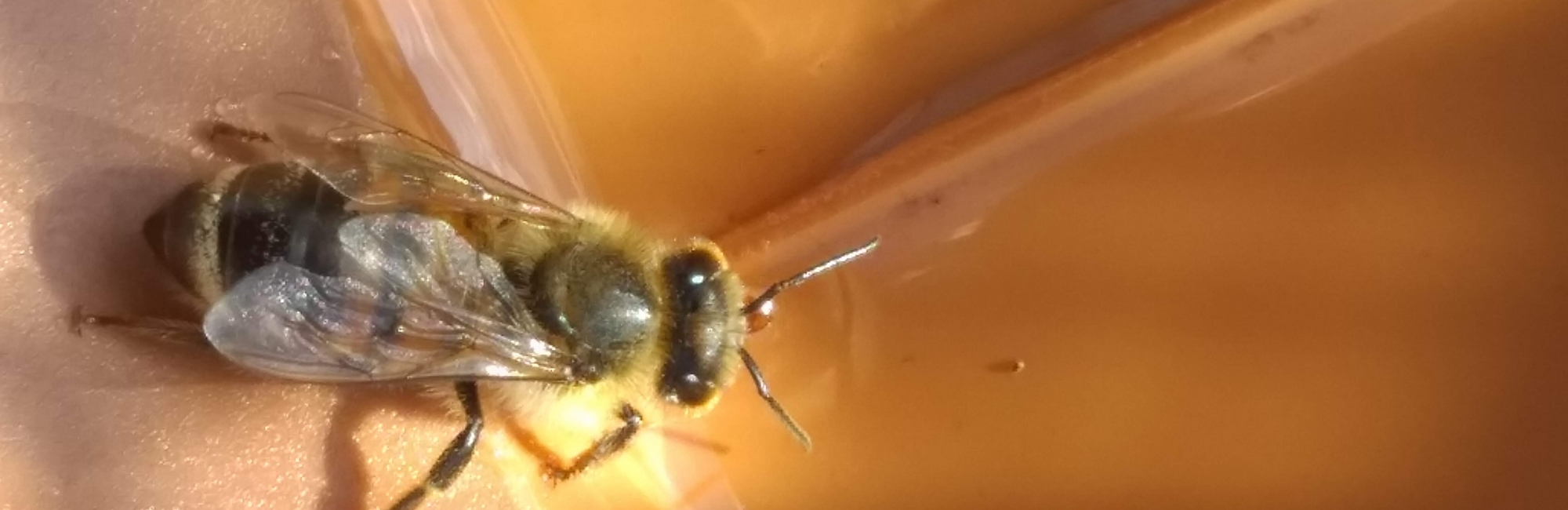 Bee colonies may be used as standalone explosives detection tools